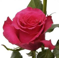 RP: Hot Lady - Large Flower Dark Pink Roses