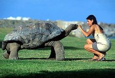 Your big tortoise is a source of pleasure to you. You bought the turtle so you can have more fun with family members and friends. Giant Tortoise, Tortoise Turtle, Isla Galapagos, Land Turtles, Sea Turtles, Cute Animals, Funny Animals, Animals Amazing, Turtle Love