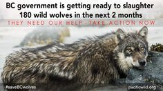 January 15, 2015   B.C. Government green-lights controversial wolf hunt in the South Selkirk and South Peace regions. As many as 184 wolves to be shot from helicopters.   Decades of habitat destruction and human encroachment have left BC's mountain caribou on the edge of survival. Instead of protecting critical food and habitat for caribou, such as the lichen rich interior forests, the BC government has now placed the blame on wolves. Over 180 wolves are now being targeted for aerial ...