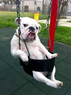 Bulldog in baby swing  Source: That Awkward Moment Between Life and Death