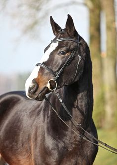 Cooper, Gelding - German Horse Center