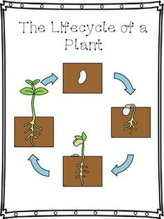 Image Result For Explain Life Cycle Of Flowering Plants