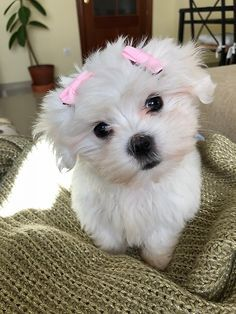 Cute Puppy Breeds, Cute Puppies, Cute Dogs, Dogs And Puppies, Maltese Poodle, Maltese Dogs, Yorkshire Terrier Toy, Pet Breeds, King Charles Spaniel