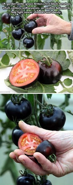 Black Tomatoes! growing these!