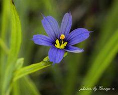 Eastern Blue-eyed Grass (Sisyrinchium atlanticum)