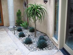 A very artistic use of only four plants: Blue and symmetrical Agave 'Blue Glow', a lush Agave 'Nova', a tall Pencil Plant in the corner and a stately Aloe bainesii.