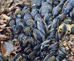 California+mussel+Mytilus+californianus.jpg (1370×1134)