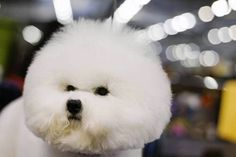 A Bichon Frise stands in the grooming area during the 137th Westminster Kennel Club dog show in New York