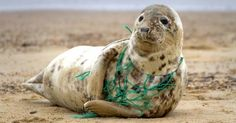 A Grey Seal at Horsey Beach in Norfolk England, tragically caught in a section of fishing net, an upsetting site that was reported to local animal welfare. Environmental Pollution, Ocean Pollution, Plastic Pollution, Environmental Justice, Save Planet Earth, Save Our Earth, Our Planet, Save The Planet, 4 Oceans