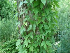Poison ivy: how to identify and kill it without damaging other plants   NOLA.com
