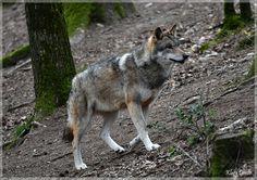 The elegance of the wolf by KlaraDrielle.deviantart.com on @DeviantArt