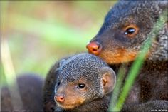 Banded mongoose mother and pup