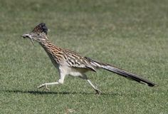 Roadrunner The legendary roadrunner bird is famous for its distinctive appearance, its ability to eat rattlesnakes and its preference for scooting across the American deserts, as popularized in Warner Bros. cartoons.