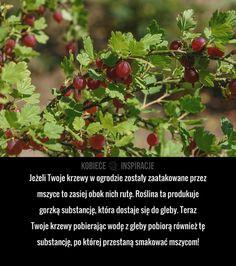 Jeżeli Twoje krzewy w ogrodzie zostały zaatakowane przez mszyce to zasiej obok nich rutę. Roślina ta produkuje gorzką substancję, która ...