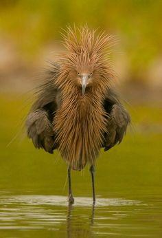 garza rojiza - reddish egret (en peligro de extinción)