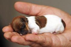 15 cachorros muito pequenos e fofos. Caibo na palma da mão.