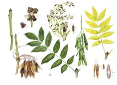 Roger Reynolds Botanical Art