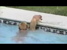 A hero golden retriever dog nudges and pulls at a puppy struggling in a swimming pool.