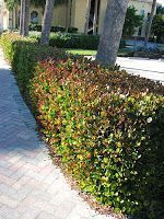 Gardening in South Florida: South Florida Hedge Plants#florida #gardening #hedge...#florida #gardening #hedge #plantsflorida #south Hedges Landscaping, Front House Landscaping, Florida Landscaping, Backyard Garden Landscape, Florida Gardening, Farmhouse Landscaping, Small Backyard Gardens, Tropical Landscaping, Backyard Landscaping