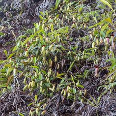 N. tomoriana grows in huge clumps in its natural habitat. An amazing sight!  #adventure #exploring #ecotourism #rainforest #tropicalplants #trekking #Indonesia #Sulawesi #plantagram #plant #forest #hiking #habitat #jungle #mountain #carnivorousplants #carnivorousplant #botanist #travel #nature #botany #nationalgeographic #nepenthes by laurenttaerweplantphotos
