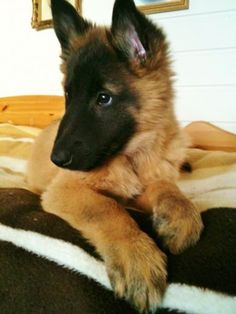 a German Shepherd puppy! they NEVER photograph them! adooooooooooorbs!!!!!!!!!!!