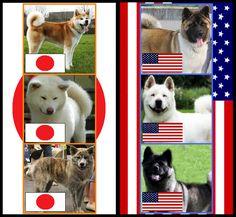 Japanese Akitas vs American Akitas by ~AdiaAkitaInu on deviantART