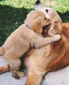"""Find out more relevant information on """"golden retriever puppies"""". Super Cute Puppies, Baby Animals Super Cute, Cute Baby Dogs, Cute Little Puppies, Cute Dogs And Puppies, Cute Little Animals, Cute Funny Animals, Doggies, Labrador Puppies"""