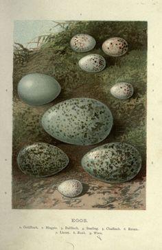 Eggs: goldfinch, magpie, bullfinch, starling, chaffinch, raven, linnet, rook, wren.