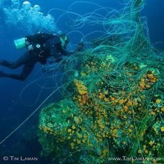Photo by @TimLaman.  Diver/conservationist Kevan Mantell takes on the dangerous challenge of removing an abandoned longline tangled on a rocky seamount in a strong current (Note direction of bubbles). I take my hat off to him –  he succeeded in cleaning up this mess. This is in Coiba National Park, Panama, where illegal fishing is a problem despite its protected status.  Coiba National Park contains 38 islands and is a highly biodiverse region above and below water.  Coiba Island was a penal…
