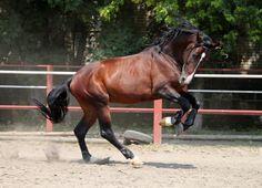 Ukrainian riding stallion | Ukrainian Riding Horse stallion Мачо (Macho)