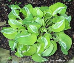 hosta-royal tiara