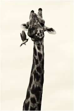 Just wish I knew what the giraffe or bird were thinking!
