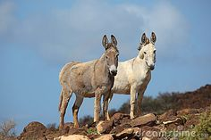 Two wild free roaming Donkeys