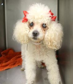 4 / 3 ***SENIOR*** Petango.com – Meet Margie, a 9 years 1 month Poodle, Miniature / Mix available for adoption in WELLINGTON, FL Contact Information Address 10948 Acme Road, WELLINGTON, FL, 33414 Phone (561) 791-6465 Website http://www.bdrr.org Email adoptions@bdrr.org