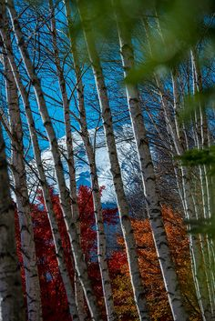 White Birch and Fuji by shinichiro* on Flickr.
