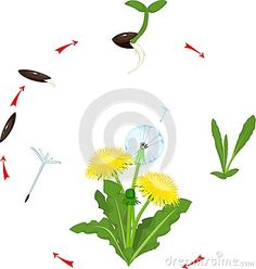 Germination Stock Illustrations, Vectors, & Clipart – Stock Illustrations) - Page 4