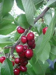 ciliegie rosse dolci e sugose  www.ortopertutti.it