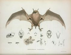 Cheiromeles torquatus. From New York Public Library Digital Collections.