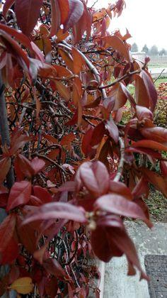 11.2.2017  Gelsomino (D'inverno con il freddo fa le foglie rosse)
