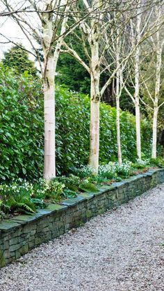 Prunus Laurocerasus Cherry Laurel for sale at Paramount Plants and Gardens UK