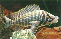 Lobochilotes labiatus ile ilgili g?rsel sonucu