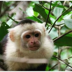 Did you know? Capuchins are often considered to be the most intelligent New Wolrd monkeys! #animal #smart #intelligence #research #cognition #monkey #primates #anthropology #psychology #science #capuchin #costarica #wildlifephotography #conservation #DANTA