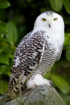 One of the young snowy #owls to arrive at Dublin Zoo #birds