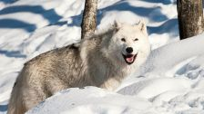 Wolf smile hd nature wild wildlife wolves