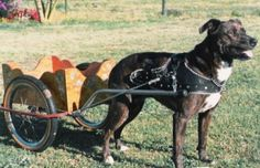 Eastern Province Dog Carting Champions  Lots of photos here.  Notice the harness.