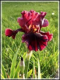 Iris's!!!
