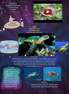 The Hawksbill Sea Turtle Eretmochelys Imbricata Is A Critically Endangered Sea Turtle Belonging To