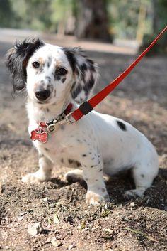 Rylie, long haired piebald dachshund #Dachshund