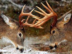 http://naturespicwallpaper.com/wp-content/uploads/2014/01/Horns-forest-winter-deer-1536x2048.jpg