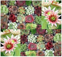 Hen and Chicks Cactus Mix ~Sempervivum Seeds $4.25 with ship and handling